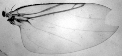 Morphbank biodiversity NSF FSU Florida State University Phoridae  Transmitted light, brightfield Mounted in Canada balsam wing Dorsal Male Unknown P. Hibbs Adult SOUTH AMERICA  ECUADOR   Sacha Lodge Natural History Museum of Los Angeles County Animalia Arthropoda Hexapoda Insecta Pterygota Neoptera Diptera Brachycera Muscomorpha Phoridae Phorinae Cyrtophorina Cyrtophorina kerri