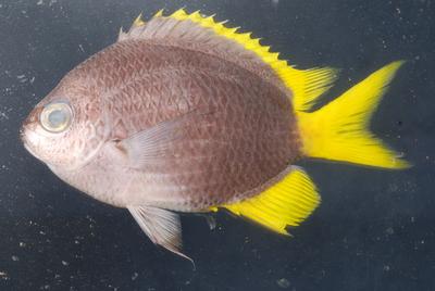 Morphbank biodiversity NSF FSU Florida State University Chromis Cybertaxonomy R.L. Pyle, J.L. Earle & B.D. Greene digital camera Randall, J. E. 1961 A technique for fish photography. Copeia. 1961(2): 241-242 Whole body Lateral Unknown Indeterminate R.L. Pyle and B.D. Greene Adult  PACIFIC OCEAN MICRONESIA, FEDERATED STATES OF   Yap; 'Magic Kingdom' [RLP-CAROLINES07-020] Bishop Museum Animalia Chordata Vertebrata Osteichthyes Actinopterygii Neopterygii Teleostei Acanthopterygii Perciformes Labroidei Pomacentridae Chromis Chromis circumaurea