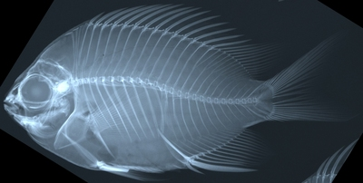 Morphbank biodiversity NSF FSU Florida State University Chromis Cybertaxonomy R.L. Pyle, J.L. Earle & B.D. Greene Radiograph, scan No preparation Whole body Lateral Unknown Indeterminate R.L. Pyle and B.D. Greene Adult  PACIFIC OCEAN MICRONESIA, FEDERATED STATES OF   Yap; 'Magic Kingdom' [RLP-CAROLINES07-020] Bishop Museum Animalia Chordata Vertebrata Osteichthyes Actinopterygii Neopterygii Teleostei Acanthopterygii Perciformes Labroidei Pomacentridae Chromis Chromis circumaurea