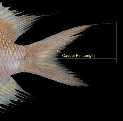Morphbank biodiversity NSF FSU Florida State University Chromis Cybertaxonomy R.L. Pyle, J.L. Earle & B.D. Greene digital camera Randall, J. E. 1961 A technique for fish photography. Copeia. 1961(2): 241-242 Caudal fin Lateral Unknown Indeterminate R.L. Pyle and B.D. Greene Adult  PACIFIC OCEAN MICRONESIA, FEDERATED STATES OF   Caroline Islands, Chuuk; Puluwat Atoll; Alet Islet, S side [RLP-CAROLINES07-007] Bishop Museum Animalia Chordata Vertebrata Osteichthyes Actinopterygii Neopterygii Teleostei Acanthopterygii Perciformes Labroidei Pomacentridae Chromis Chromis brevirostris