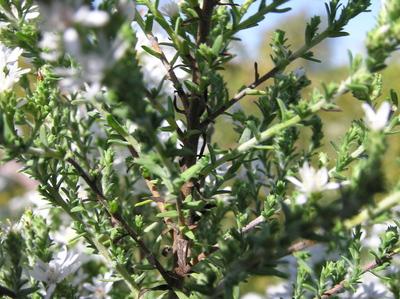 Morphbank biodiversity NSF FSU Florida State University Aster (Native) Jim Steffen Digital, available light No preparation Branching habit Lateral Hermaphrodite Indeterminate Dorothy Peck & Dorrie Roman Adult NORTH AMERICA  UNITED STATES   Glencoe, Illinois; Chicago Botanic Garden; Marsh Island, bed 789 Chicago Botanic Garden Plantae Tracheobionta Magnoliophyta Magnoliopsida Asteridae Asterales Asteraceae Symphyotrichum Symphyotrichum ericoides Symphyotrichum ericoides var. ericoideswhite heath aster