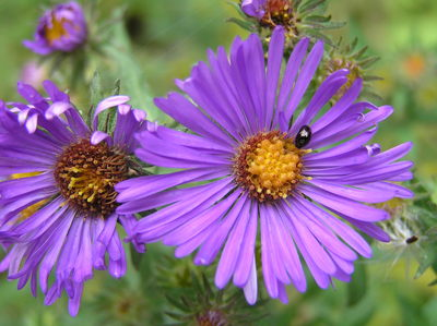 Morphbank biodiversity NSF FSU Florida State University Aster (Native) Jim Steffen Digital, available light No preparation Flower Adaxial Hermaphrodite Indeterminate Dorothy Peck & Dorrie Roman Adult NORTH AMERICA  UNITED STATES   Glencoe, Illinois; Chicago Botanic Garden; Woods, General area, bed 1000 Chicago Botanic Garden Plantae Tracheobionta Magnoliophyta Magnoliopsida Asteridae Asterales Asteraceae Symphyotrichum Symphyotrichum novae-angliaeNew England aster