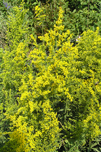 Morphbank biodiversity NSF FSU Florida State University Solidago Jim Steffen Digital, available light No preparation Inflorescence Lateral Hermaphrodite Indeterminate Dorrie Roman Adult North America  UNITED STATES   Glencoe, Illinois; Chicago Botanic Garden; Production Seedlings & Stock 0744 Chicago Botanic Garden Plantae Tracheobionta Magnoliophyta Magnoliopsida Asteridae Asterales Asteraceae Solidago Solidago nemoralisdyersweed goldenrod gray goldenrod