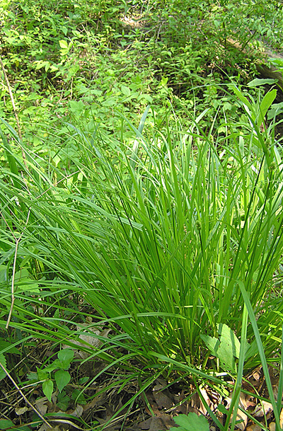 Morphbank biodiversity NSF FSU Florida State University Carex (Native) Jim Steffen Digital, available light No preparation Whole plant Location, tight shot Hermaphrodite Indeterminate D. Peck, D. Roman, K. Krebs Adult North America  UNITED STATES   Glencoe, Illinois; Chicago Botanic Garden; Woods, General area, bed 1000 Chicago Botanic Garden Plantae Tracheobionta Magnoliophyta Liliopsida Commelinidae Cyperales Cyperaceae Carex Carex cephalophoraoval-leaved sedge oval-leaf sedge ovalleaf sedge