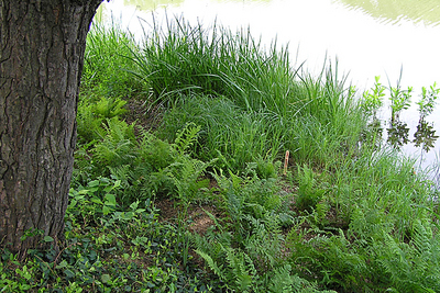 Morphbank biodiversity NSF FSU Florida State University Carex (Native) Jim Steffen Digital, available light No preparation Whole plant Location, wide shot Hermaphrodite Indeterminate Dorrie Roman Adult North America  UNITED STATES   Glencoe, Illinois; Chicago Botanic Garden; Skokie River plantings, bed 667 Chicago Botanic Garden Plantae Tracheobionta Magnoliophyta Liliopsida Commelinidae Cyperales Cyperaceae Carex Carex emoryiEmory's sedge