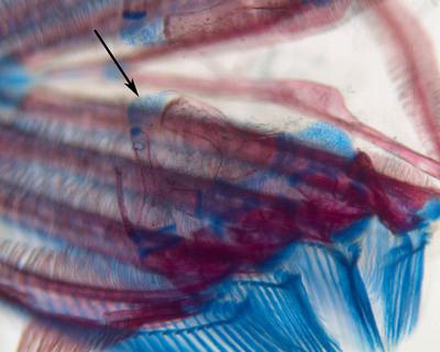 Morphbank biodiversity NSF FSU Florida State University Cypriniform Tree of Life  Digital Camera Cleared and counterstained for bone (Alizarin red) and cartilage (Alcian blue) pharyngobranchial 2 Dorsal unknown Unspecified  Unspecified       Cypriniform Tree of Life Project Animalia Chordata Vertebrata Osteichthyes Actinopterygii Neopterygii Teleostei Ostariophysi Cypriniformes Cobitoidea Gyrinocheilidae Gyrinocheilus Gyrinocheilus aymonieriChinese algae-eater Indian algae eater Siamese algae-eater Siamese headbreather sucker loach sucking loach