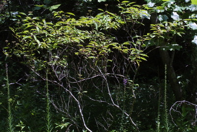 Morphbank biodiversity NSF FSU Florida State University Bioimages Steven J. Baskauf Reflected light, macrophotography Live Whole plant General view Unspecified Unspecified Steven J. Baskauf Unspecified NORTH AMERICA  US   Tennessee; Davidson; Beaman Park Vanderbilt University Dept. of Biological Sciences Plantae Tracheobionta Magnoliophyta Magnoliopsida Rosidae Cornales Cornaceae Cornus Cornus foeminastiff dogwood