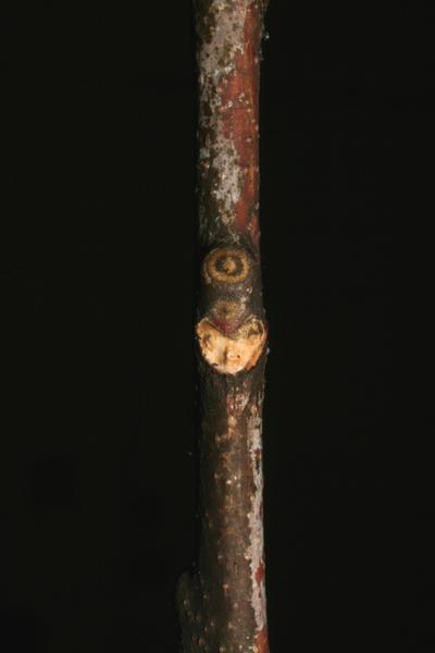 Morphbank biodiversity NSF FSU Florida State University Bioimages  Reflected light, macrophotography Live Twig Lateral Unspecified Winter  Unspecified       Vanderbilt University Dept. of Biological Sciences Plantae Tracheobiontavascular plants