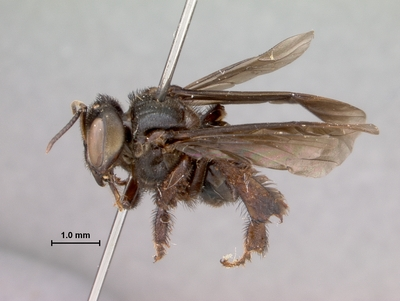 Morphbank biodiversity NSF FSU Florida State University seltmann's group  EntoVision Pinned Body Lateral Unknown Not applicable J.G. Rozen and P. Wygodzinsky Adult Not Applicable  TRINIDAD AND TOBAGO   Trinidad, W.I., Arima Valley American Museum of Natural History Animalia Arthropoda Hexapoda Insecta Pterygota Neoptera Hymenoptera Apocrita Aculeata Apoidea Apidae Apinae Meliponini Trigona