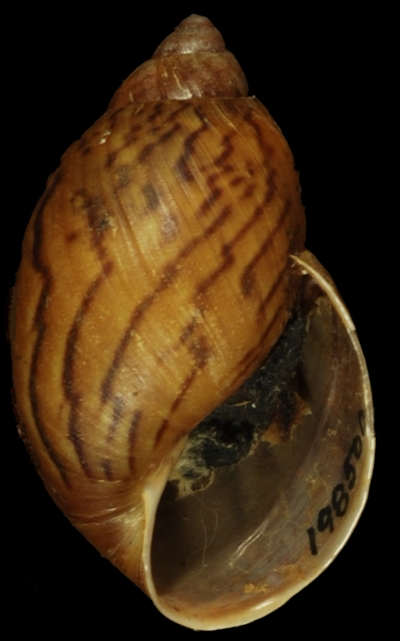 Morphbank biodiversity NSF FSU Florida State University breure's group  digital camera No preparation Shell Ventral Hermaphrodite Not specified J.A. Steyermark Adult South America  VENEZUELA   Bolivar, Cerro Guaiquinima National Museum of Natural History Animalia Mollusca Gastropoda Stylommatophora Bulimulidae Plekocheilus Plekocheilus (Eurytus) Plekocheilus (Eurytus) fusitorsus
