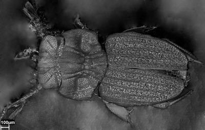 Morphbank biodiversity NSF FSU Florida State University PCC Mattias Forshage SEM air dried from ethanol whole body, dorsal Dorsal Unknown Not Applicable Heikki Hippa Adult Asia  MALAYSIA   Pahang, Bukit Frazer Swedish Museum of Natural History Animalia Arthropoda Hexapoda Insecta Pterygota Neoptera Coleoptera Polyphaga Scarabeiformia Scarabaeoidea Scarabaeidae Aphodiinae Cheleion Cheleion malayanum