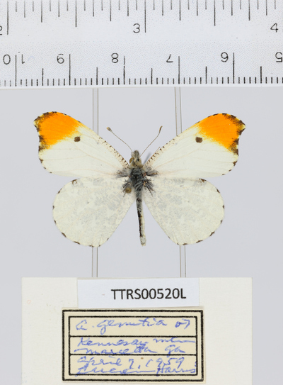 Morphbank biodiversity NSF FSU Florida State University Tall Timbers  Digital Camera Unspecified whole organism Dorsal Male Unspecified Lucien Harris Unspecified   USA GA  Kennesaw Mountain, Marietta Tall Timbers Research Station Arthropoda Lepidoptera Neoptera Pterygota Papilionoidea Insecta Anthocharis midea Pieridae Anthocharis Animalia Hexapoda