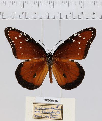 Morphbank biodiversity NSF FSU Florida State University Tall Timbers  Digital Camera Unspecified whole organism Dorsal Male Unspecified Lucien Harris Unspecified   USA FL  near Everglades Tall Timbers Research Station Danaus gilippus ssp. berenice Nymphalidae Animalia Hexapoda Lepidoptera Neoptera Danaus gilippus Danaini Arthropoda Papilionoidea Pterygota Danainae Danaus Insecta