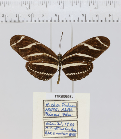 Morphbank biodiversity NSF FSU Florida State University Tall Timbers  Digital Camera Unspecified whole organism Dorsal Unspecified Unspecified H F. Strohecker Unspecified   USA FL  Miami Tall Timbers Research Station Neoptera Heliconius charithonia ssp. tuckeri Hexapoda Pterygota Heliconius charithonia Heliconius Insecta Lepidoptera Animalia Arthropoda Papilionoidea Nymphalidae