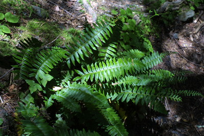Morphbank biodiversity NSF FSU Florida State University Bioimages  Reflected light, macrophotography Live Whole plant Unspecified Unspecified Not specified Steven J. Baskauf Unspecified    Tennessee Sevier Cove Hardwoods Nature Trail, Great Smoky Mountains National Park Vanderbilt University Dept. of Biological Sciences Plantae Tracheobionta Pteridophyta Filicopsida Polypodiales Dryopteridaceae Polystichum Polystichum acrostichoidesChristmas fern