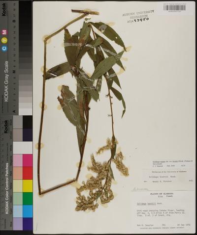 Morphbank biodiversity NSF FSU Florida State University Auburn University Herbarium  Reflected light, macrophotography No preparation Plant body Herbarium Specimen Undetermined Undetermined ANN H. SESSLER Undetermined North America  USA  BIBB DIRT ROAD CROSSING CAHABA RIVER, LEADING OFF HWY. 5, 3.5 MILES N OF BIBB-PERRY CO. LINE. 5 MI. S OF BRENT, ALA. John D. Freeman Herbarium (AUA) Plantae Tracheobionta Magnoliophyta Magnoliopsida Asteridae Asterales Asteraceae Solidago Solidago argutaAtlantic goldenrod