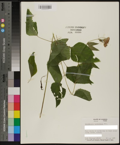 Morphbank biodiversity NSF FSU Florida State University Auburn University Herbarium  Reflected light, macrophotography No preparation Plant body Herbarium Specimen Undetermined Undetermined A. R. DIAMOND WITH TOM PATRICK AND JIM ALLISON Undetermined North America  USA  HENRY HENRY CO. HWY. 36 AT MOUNTAIN CREEK. NORTH OF ROAD, WEST SIDE OF CREEK. John D. Freeman Herbarium (AUA) Plantae Tracheobionta Magnoliophyta Magnoliopsida Asteridae Asterales Asteraceae Brickellia Brickellia cordifoliaFlyr's nemesis