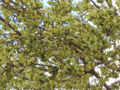 Morphbank biodiversity NSF FSU Florida State University Santhalingam's group P.Santhan       P.Santhan        Natural Remedies Plantae Tracheobionta Magnoliophyta Magnoliopsida Hamamelidae Urticales Ulmaceae Holoptelia integrifolia (Roxb.) PlanchAavili