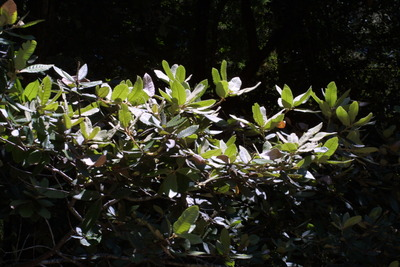 Morphbank biodiversity NSF FSU Florida State University Bioimages Steven J. Baskauf Reflected light, macrophotography Live Leaf General view Unspecified Unspecified Steven J. Baskauf Unspecified   UNITED STATES   California; Del Norte; Jedediah Smith Redwoods State Park Vanderbilt University Dept. of Biological Sciences Plantae Tracheobionta Magnoliophyta Magnoliopsida Hamamelidae Fagales Fagaceae Lithocarpus Lithocarpus densiflorustanoak