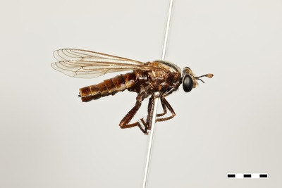 Morphbank biodiversity NSF FSU Florida State University tdikow's group T. Dikow DSLR camera, MP-E65 mm macrolens, twin flash, GIGAmacro Magnify2 Pinned whole organism habitus Lateral Female Not Applicable T. Dikow Adult Africa  NAMIBIA Erongo  Namib-Skeleton Coast National Park, Gobabeb, dunes W of Kuiseb riverbed National Museum of Natural History, Smithsonian Institution Parectyphus namibiensis